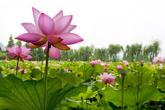 Mooie waterlelie stock fotografie