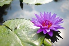 Mooie waterleliebloem Stock Foto