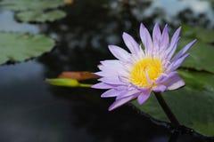 Mooie waterleliebloem Royalty-vrije Stock Foto's