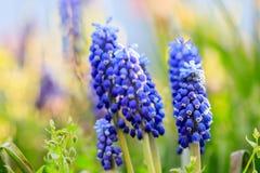 Mooie weide Heldere blauwe bloesems van Armeense muskari Royalty-vrije Stock Foto