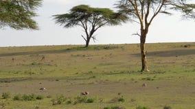 Mooie Weide met Groene Gras en Acacia waar de Antilopen en de Vogels weiden stock footage