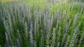 Mooie weide met het bloeien Salvia Superba stock video