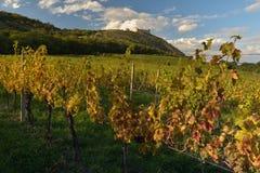 Mooie wijngaarden in de herfst stock afbeelding