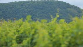 Mooie wijngaarden die zich bij voet heuvels, de wijnbereidingsindustrie in Georgië uitrekken stock videobeelden