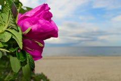 Mooie wild nam (rosa canina) bloeiend bij de kust toe stock foto