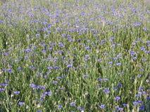 Mooie wilde blauwe korenbloem in de lente, Litouwen stock afbeeldingen