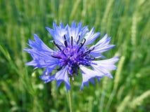 Mooie wilde blauwe korenbloem in de lente, Litouwen stock foto