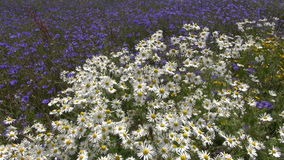 Mooie wilde bloemen op gebied in de zomer stock video