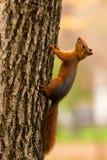 Mooie wilde eekhoorn Royalty-vrije Stock Fotografie