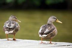 Mooie Wilde eendentribunes op de bank van de rivier De eenden kijken aan het recht, terugkeerden Stock Fotografie