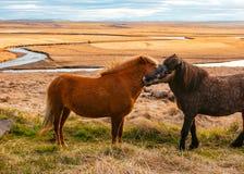 Mooie wilde poneys op het gebied stock fotografie
