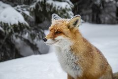 Mooie wilde rode vos in de sneeuw, in de bergen stock foto