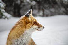 Mooie wilde rode vos in de sneeuw, in de bergen stock afbeelding