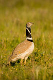 Mooie wilde vogel in de weide Royalty-vrije Stock Foto's