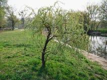Mooie Willow Tree De ochtend? gebied van de lente van groen gras en blauwe bewolkte hemel stock foto