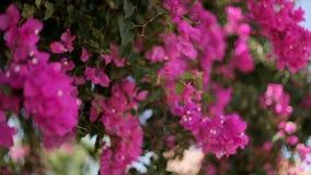 Mooie windende Liana met roze bloemen tegen de blauwe hemel bougainvillea stock videobeelden