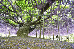 Mooie Wisteria-bloem stock foto