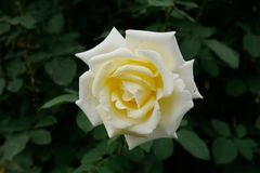 Mooie wit nam in bloei toe Royalty-vrije Stock Fotografie