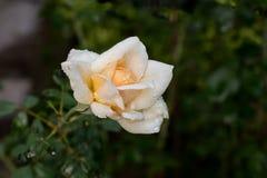 Mooie wit nam bloeiend in tuin toe stock fotografie
