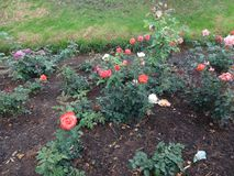 Mooie wit & roze nam bloem bij botanische ooty tuin toe, India stock fotografie