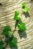 Mooie Witte Berk en het Groene Stilleven van Bladeren Stock Foto