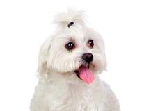 Mooie witte Bichon Maltees Royalty-vrije Stock Fotografie