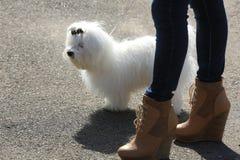 Mooie witte Bichon Maltees Stock Foto
