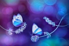 Mooie witte blauwe vlinders op de bloemen van lavendel Het natuurlijke beeld van de de zomerlente in blauwe en purpere tonen stock foto