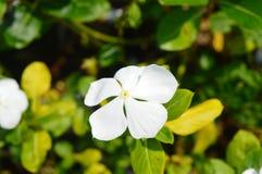 Mooie Witte Bloem Stock Foto's