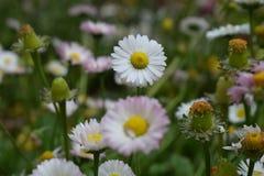 Mooie Witte Bloem Royalty-vrije Stock Fotografie
