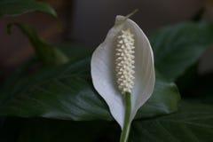 Mooie witte bloem in groene tuin Royalty-vrije Stock Afbeeldingen