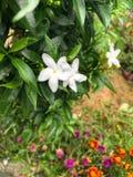Mooie Witte Bloem het ` s kijkt aardig royalty-vrije stock afbeelding