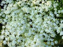 Mooie witte bloem in tuin, Litouwen stock afbeeldingen
