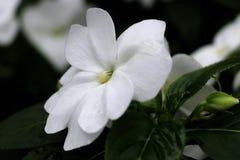 Mooie witte bloemblaadjes van Begonia in serre royalty-vrije stock afbeeldingen