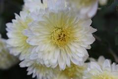 Mooie witte bloemen Royalty-vrije Stock Fotografie