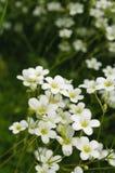 Mooie Witte Bloemen Royalty-vrije Stock Foto
