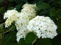 Mooie witte bloemen Stock Fotografie