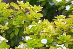 Mooie witte bloemen in de tuin Stock Foto's