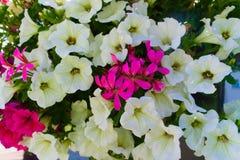 Mooie witte bloemen die in de tuin bloeien royalty-vrije stock afbeelding