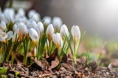 Mooie witte bloemen in het contralicht Jonge de lentebloemen met ongeopende gevoelige knoppen stock fotografie
