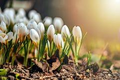 Mooie witte bloemen in het contralicht Jonge de lentebloemen met ongeopende gevoelige knoppen stock foto's