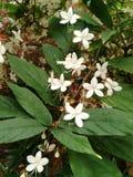 Mooie witte bloemen, het neigen clerodendrum Royalty-vrije Stock Fotografie