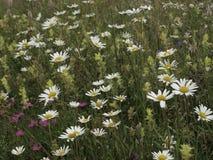 Mooie witte bloemen in kleurrijke weide royalty-vrije stock foto