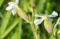 Mooie witte bloemen met vliegend insect royalty-vrije stock afbeeldingen