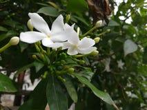 Mooie witte bloemen op de groene installatie Stock Afbeelding