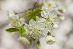 Mooie witte bloemen op de lentetijd stock fotografie