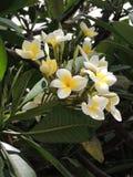 Mooie witte bloemen van een tropische installatie Stock Foto's
