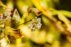 Mooie witte bodinieri van bessencallicarpa met de herfstkleuren op de achtergrond stock afbeeldingen