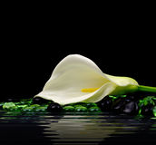 Mooie witte Calla lelie Stock Fotografie