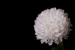 Mooie witte chrysant op een zwarte achtergrond Stock Afbeelding